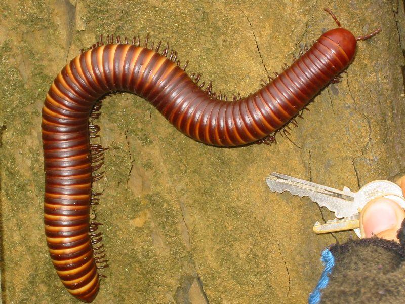 Pest Information - Centipedes