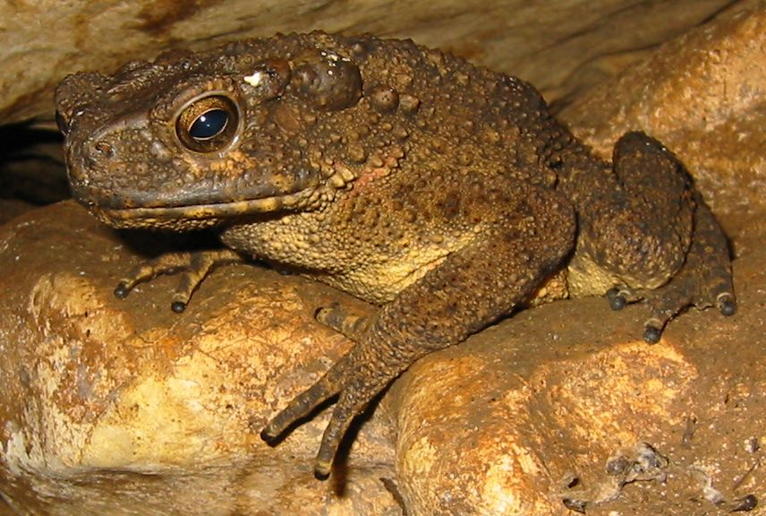 Amphibians Toads 15cm long cave dwelling toad